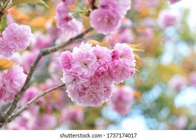 4月に薄ピンクの桜が咲く。  ニコン自動車