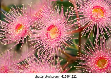 Pale pink Corymbia ficifolia flowers, a native Australian flowering tree.