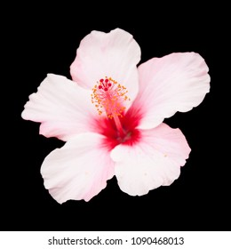 pale pink Hibiscus flower isolated on black background