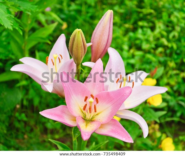 Pale Pink Lily Lilium Water Droplets Stock Photo Edit Now 735498409