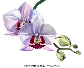 Pale pink orchid on a green stem watercolor drawn on a white background. Five of these two buds disclosed.
