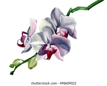 Pale pink orchid on a green stem watercolor drawn on a white background. Five of these three buds disclosed.