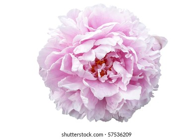 Pale Pink Peony Flower Isolated on White