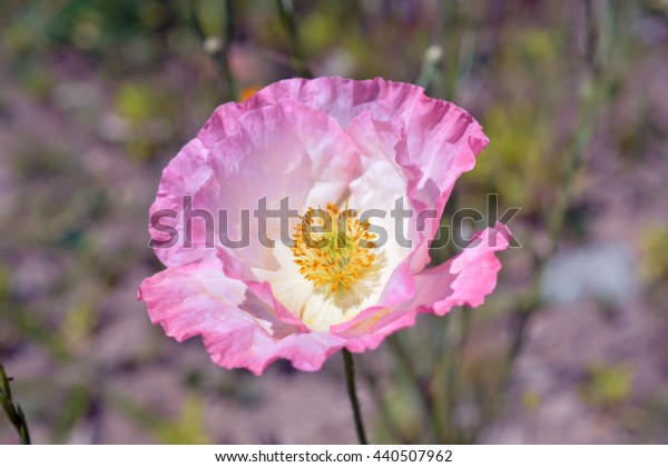 Pale Pink Poppy Flower