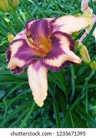 pale pink purple and yellow daylily