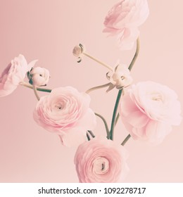 Pale pink Ranunculus flowers over soft background