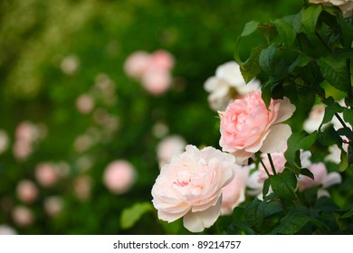 Pale pink roses in Central Park, New York.