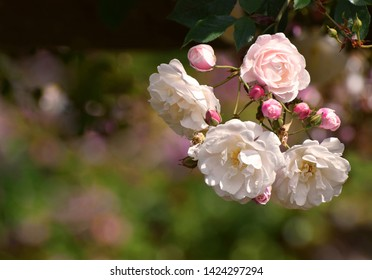 Pale pink and white climbing rambling roses and rose buds