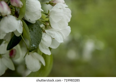 Pale Pink and White Flowers of Malus Floribunda Spotted with Rain Drops  Buds of Apple Flowers After the Rain