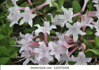 Pale pink and white flowers of Rhododendron atlanticum (Ashe) Rehd. or Azalea atlantica, dwarf azalea or coastal azalea, kustazalea, Midseason Azalea