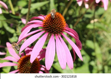 """""""Pale Purple Coneflower"""" (or Echinacea) with bee in Innsbruck, Austria. Its scientific name is Echinacea Pallida, native to USA."""