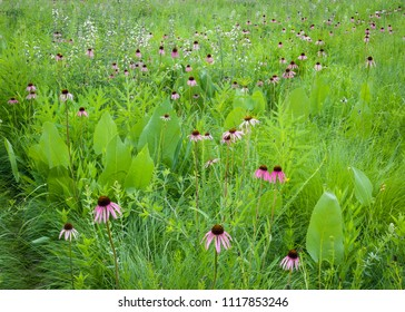 Pale purple coneflowers mingle with white wild indigo and prairie dock as the summer wildflower season gets underway on the Midwest prairies.