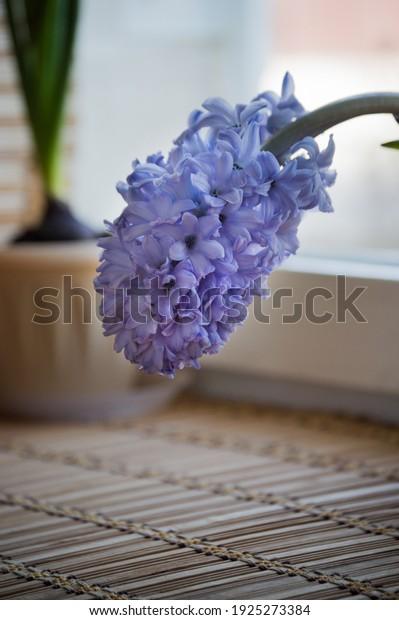 бледно-фиолетовый-Гиацинт-соцветие-горшок-6