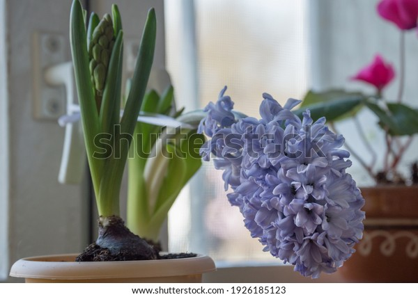 pale-purple-hyacinth-inflorescence-pot-6