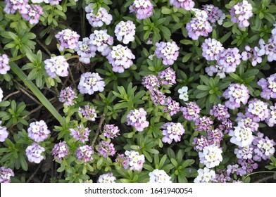 Pale purple and white flowers of Iberis sempervirens variety 'Climax'