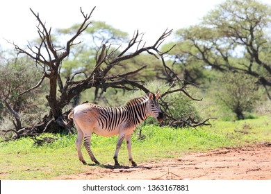 Pale rump Zebra, reduced stripes resembling the Quagga