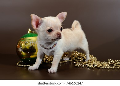 Pale short-haired Chihuahua puppy with Christmas decorations on a brown background.