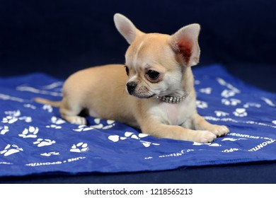Pale short-haired Chihuahua puppy on blue background