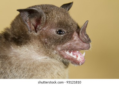 Pale spear-nosed bat (Phyllostomus discolor) portrait (Puerto Viejo, Costa Rica).