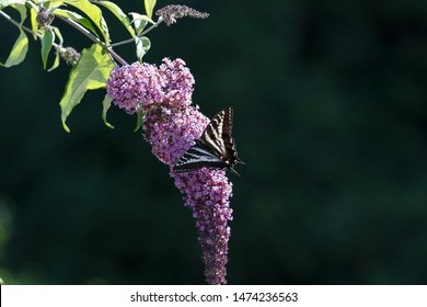 Pale swallowtail butterfly and flower at BC Canada