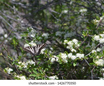 Pale Tiger Swallowtail Butterfly on Flowers