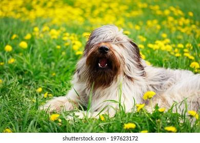 Pale yellow briard dog
