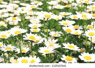 Pale yellow chrysanthemums bloom at spring