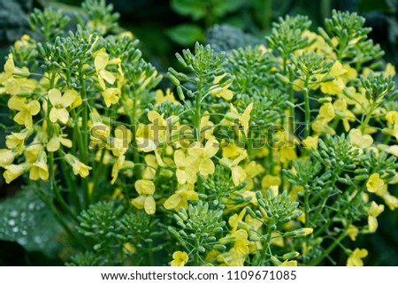Pale yellow flowers overgrown broccoli plant stock photo edit now pale yellow flowers of an over grown broccoli plant closeup mightylinksfo