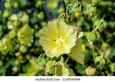 Pale yellow flowers and seeds capsules of blooming Hollyhock (Alcea Rugosa). Common names include Rugose H., Hairy H., Yellow H., Russian H.