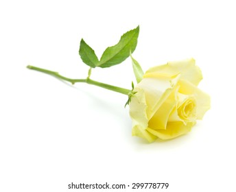 pale yellow and green rose isolate on white background
