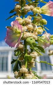 Pale yellow and pink flower and seeds capsules of blooming Common Hollyhock (alcea Rosea). Selective focus with shallow depth of field.