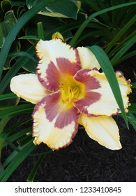 pale yellow and purple daylily