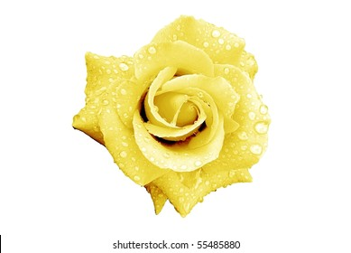 Pale Yellow Rose Flower with Rain Drops Isolated on White