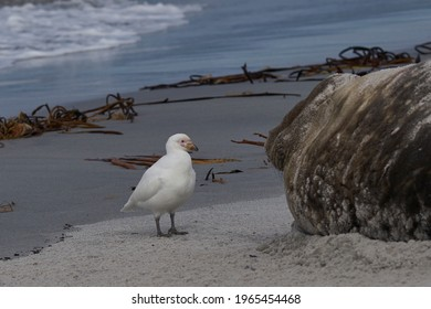 Pale-faced Sheathbill (Chionis albus) picking bits of flesh from the battle damaged head of a male Southern Elephant Seal (Mirounga leonina) on Sea Lion Island in the Falkland Islands.