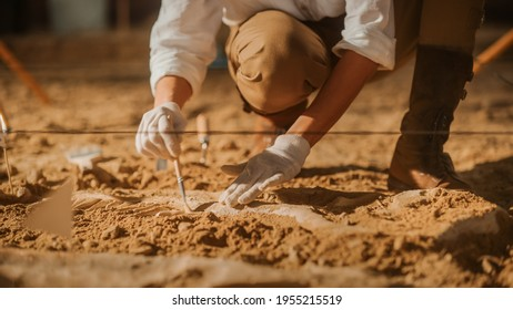 Paleontologist Cleaning Tyrannosaurus Dinosaur Skeleton with Brushes. Archeologists Discover Fossil Remains of New Predator Species. Archeological Excavation Digging Site. Close-up Focus on Hands - Shutterstock ID 1955215519