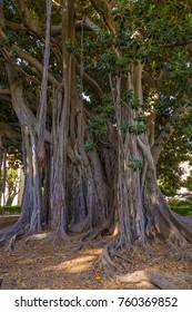 Palermo, Sicily. Ficus Magnoliodes in Garibaldi's Garden - Italy's largest plant