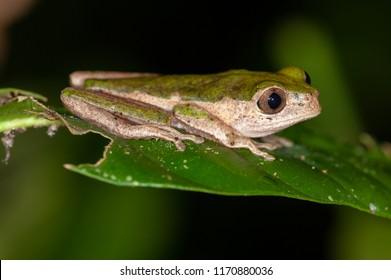 Pale-sided Monkey Frog (Phyllomedusa palliata) in Manu National Park, Peru