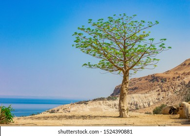 Palestine occupied territory by Israel holy land near Sodom and Homorrah desert dry highland landscape with lonely green tree and dead sea background
