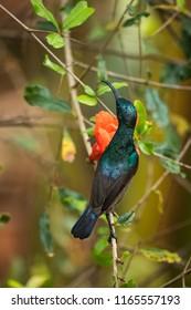 Palestine sunbird wandering in the forest of Kabini wildlife sanctuary