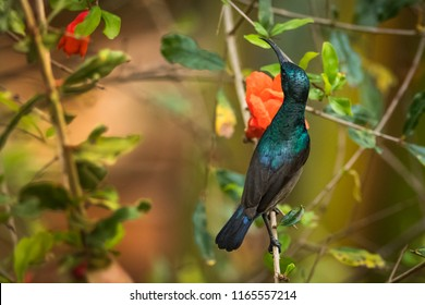 Palestine sunbird wandering in the forest of Kabini wildlife sanctuary