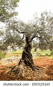 Palestinian olive trees from areas surrounding Ramallah, Palestine.
