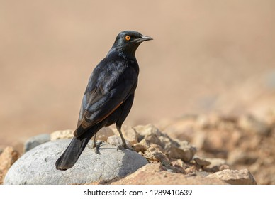 Pale-winged Starling - Onychognathus nabouroup, endemic starling from southern Africa, Namib desert, Sossusvlei, Namibia.