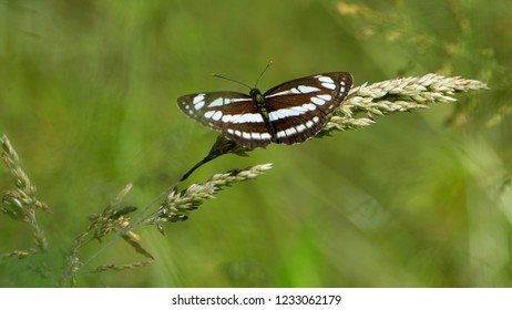 Pallas' sailer or common glider (Neptis Sappho)