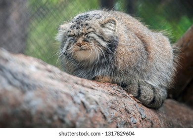 Pallas's cat (Otocolobus manul). Manul is living in the grasslands and montane steppes of Central Asia. Portrait of cute furry adult manul is sitting on the branches of a tree