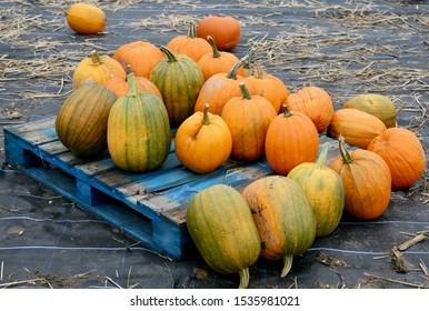 A pallet full of pumpkins in the pumpkin patch