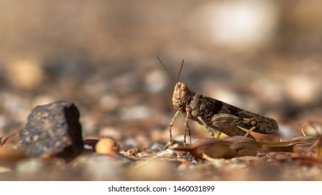 Pallid winged grasshopper, Trimerotropis pallidipennis, a locust like insect known as a pest. Close up detail of a native Sonoran Desert species. Pima County, Tucson, Arizona, USA. Summer of 2019.