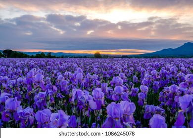 Pallida iris field in Provence, France. Sunrise.