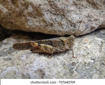 Pallid-Winged Grasshopper On Rock