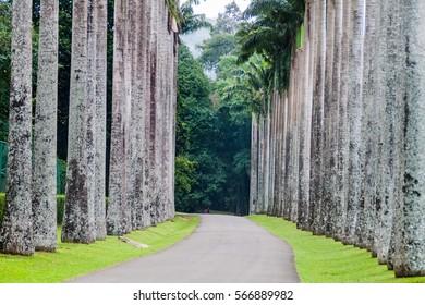 Palm alley in Royal Botanic Gardens near Kandy, Sri Lanka