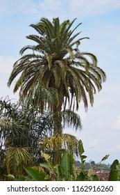 Palm and banana trees in public park. Cuetzalan Del Progreso, Puebla Mexico.